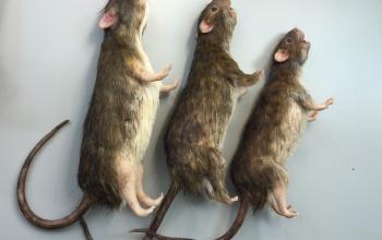 rat-min